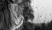 Download B&W Lion PS Vita Wallpaper