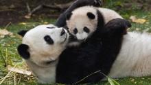 Download Panda bears PS Vita Wallpaper