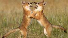 Download Fox cubs PS Vita Wallpaper