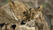Download Lion cub PS Vita Wallpaper