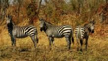 Download Three zebras PS Vita Wallpaper