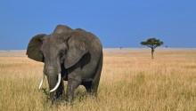 Download Black elefant PS Vita Wallpaper