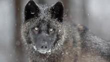 Download Black wolf PS Vita Wallpaper