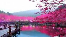 Download Cherry Blossom PS Vita Wallpaper