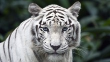 Download Female White Tiger PS Vita Wallpaper