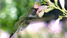 Download Hungry Humming Bird PS Vita Wallpaper