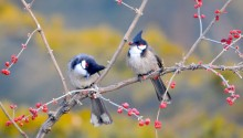 Download Red Whiskered Bulbul Birds PS Vita Wallpaper