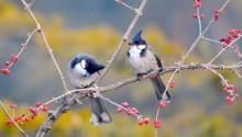 Download Red Whiskered Bulbul Birds PS Vita Wallpaper