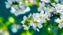 Download Apple Flowers PS Vita Wallpaper